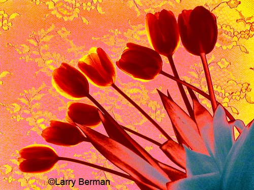 Color Infrared Photograph of Tulips